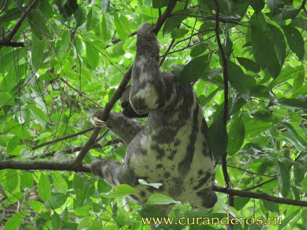 перуанский ленивец