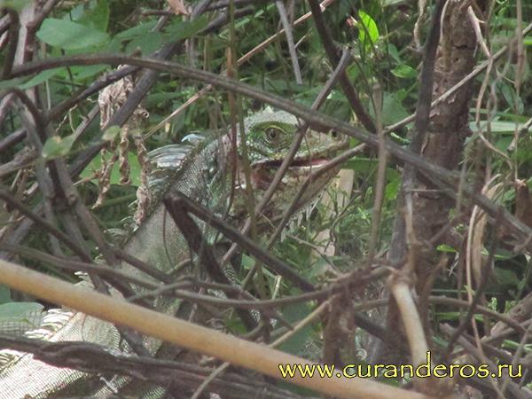 перуанский дракон