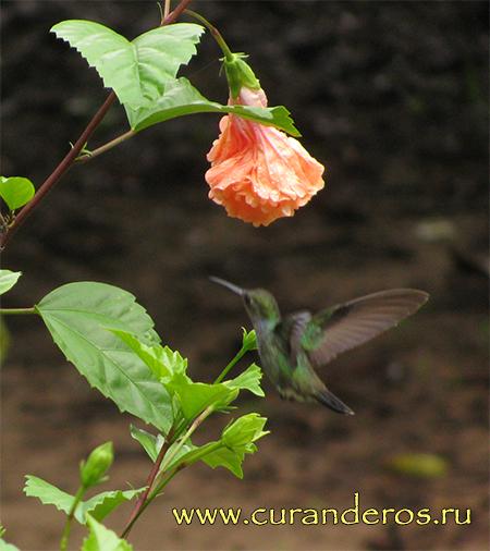 амазонские колибри