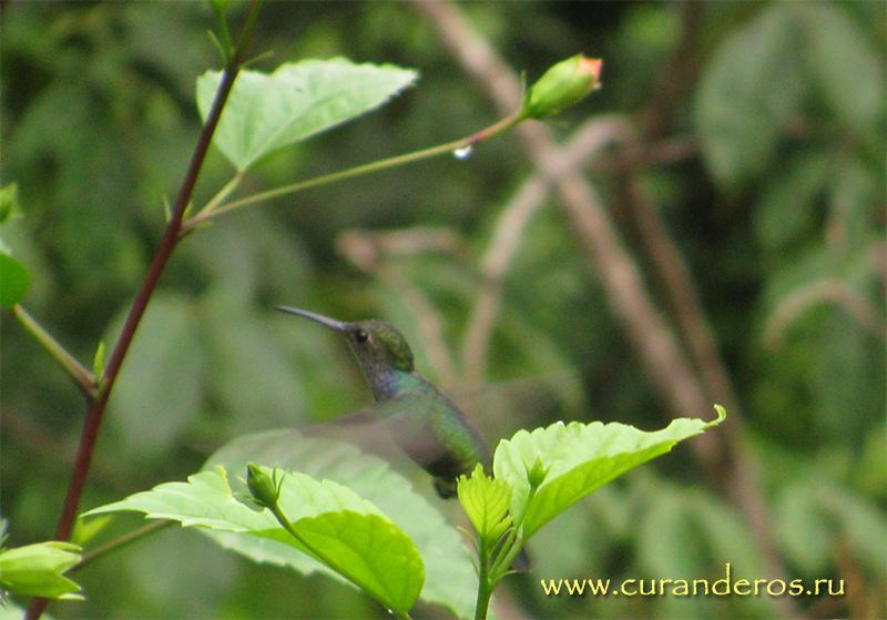 полет колибри