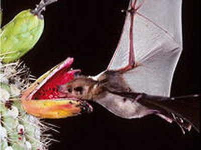 приспособленность летучих мышей к ловле насекомых с помощью