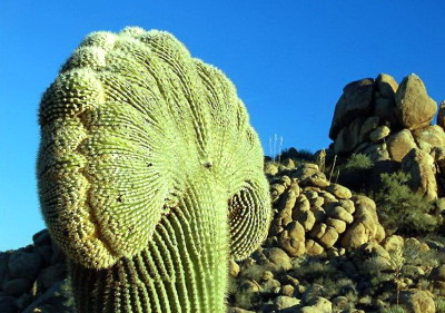 кактус gigantskie-kaktusy-saguaro_18_1
