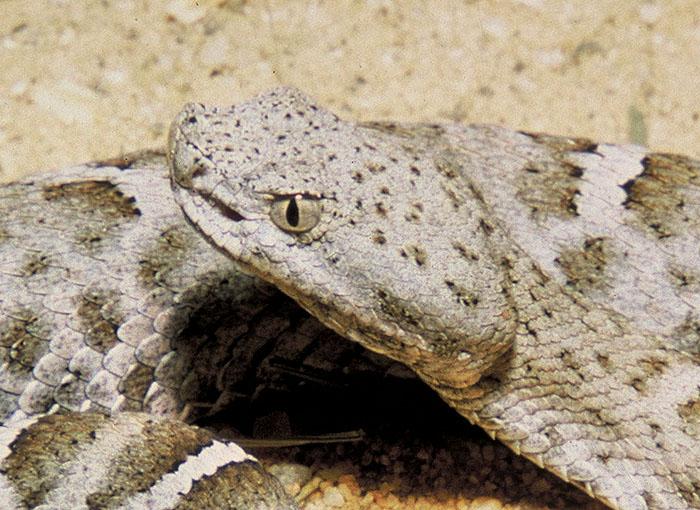 мексиканская гремучая змея